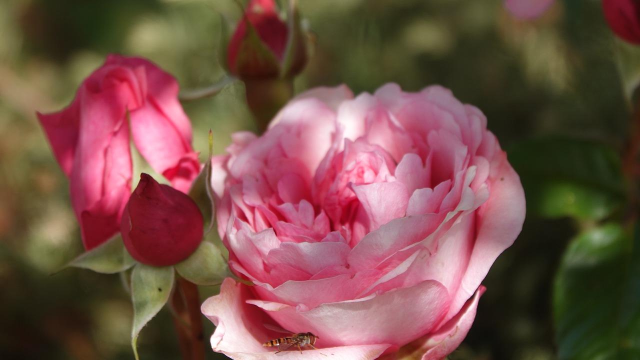 Rosen in Parfümen