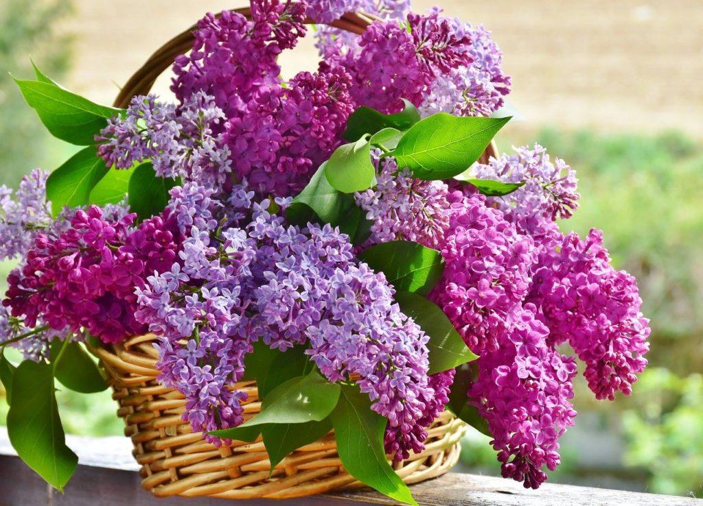 Flieder Blumen